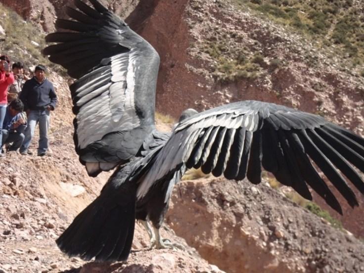 Cóndor hembra Purmamarca, a pundto de volar en libertad