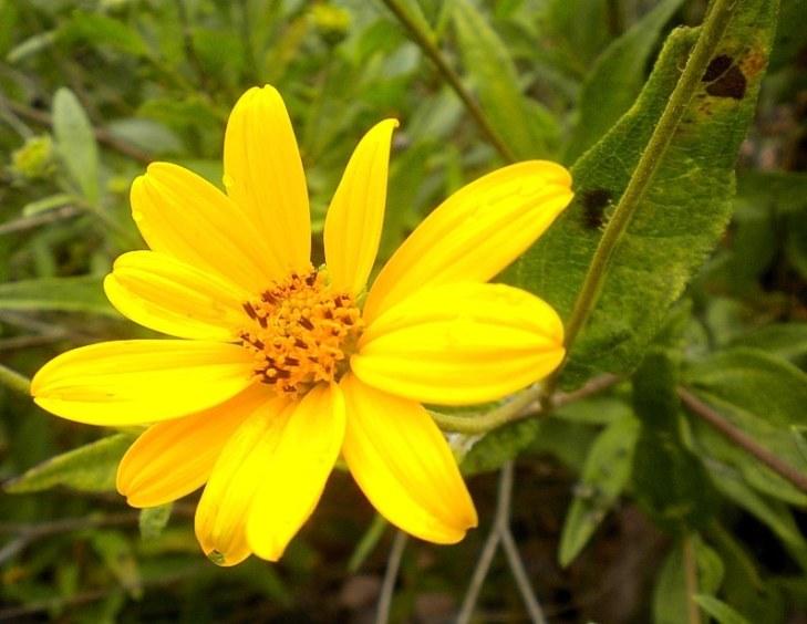 Una flor de de suncho. Juntas, hacen maravillas.