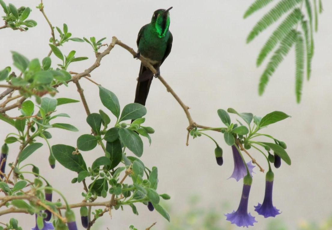 Picaflor cometa macho, en un momento de descanso. Se ve el color verde esmeralda muy brillante en la garganta. (Foto: Pablo Harvey).