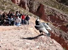 Libre, la hembra cóndor en la Cuesta de Lipán