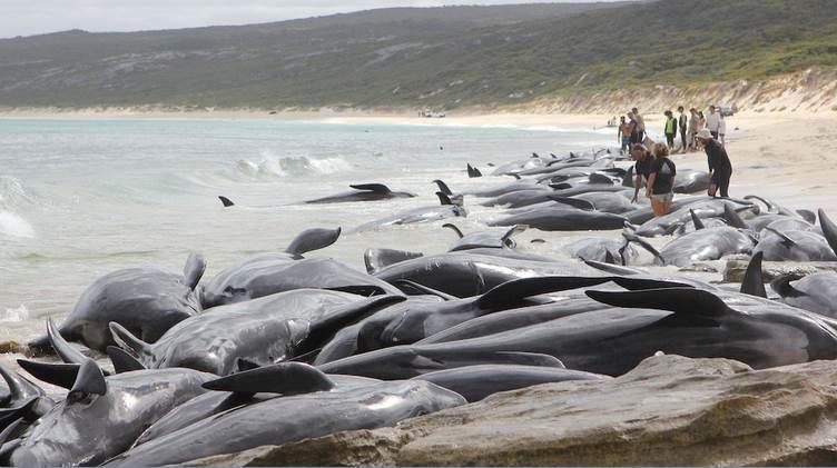 Australia, 150 balene si arenano sulla spiaggia