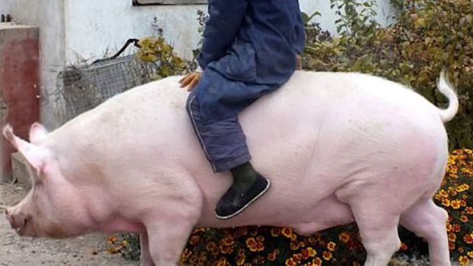 Risultati immagini per maiale cinese