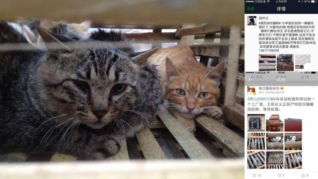 News: 350 Cats Rescued by Activists Yesterday in China