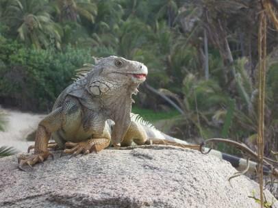 Tyrona National Park_taki sobie jaszczur_a lizzard