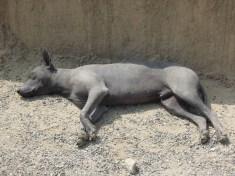 Pies rasy Peru_Peruvian dog