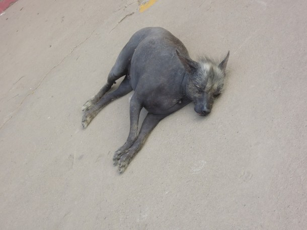 Pies peruwiański po raz drugi_ Peruvian dog again