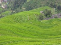 Longji - Dashai Village - Rice Fields (215)