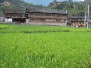 Longji - Dashai Village - Rice Fields (248)