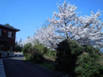 4.14桜1