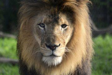male lion gaze