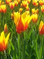 flame tulips