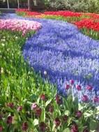 grape hyacinths as a carpet