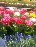 fluffy tulips