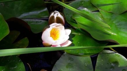 Waterlilies in Garden 4