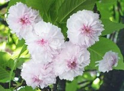 100 petals
