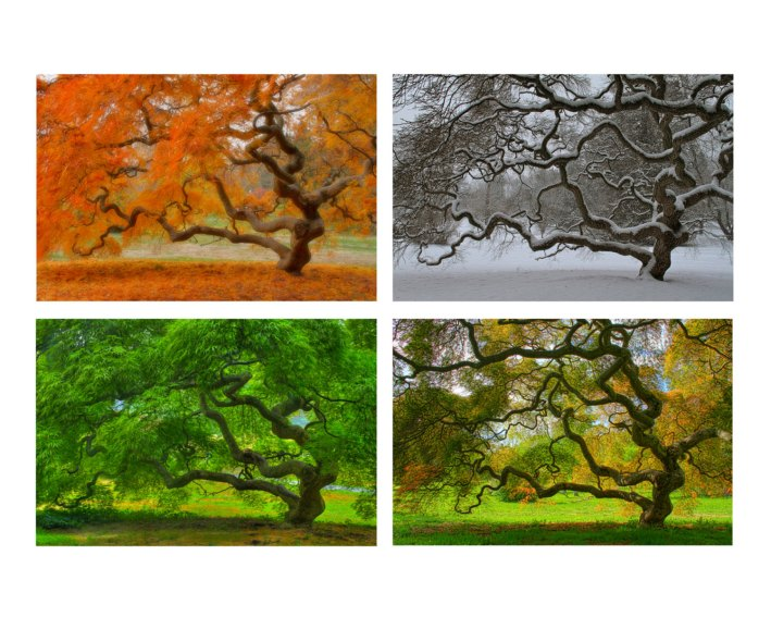 japanese-maple-in-four-seasons