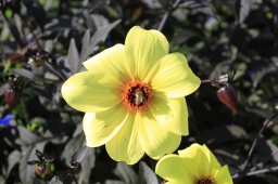 shadow-yellow-flower-sun-from-side-bee-in-the-center-red-pistil-garden-background-big-texture-256x170