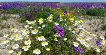 Wildflowers in outback Qld.