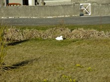 Domestic duck and dwarf narcissi