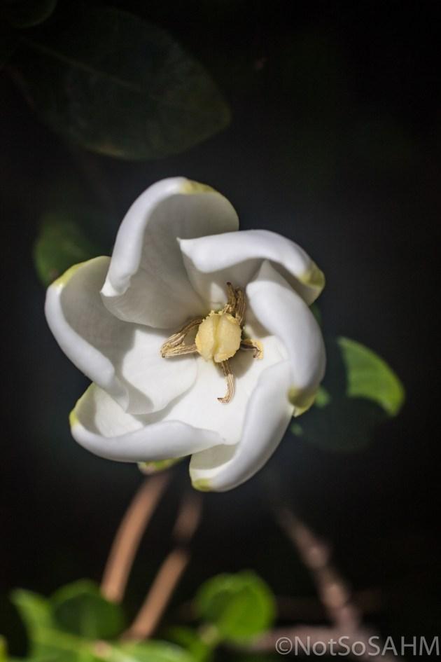 Gardenia unfurling