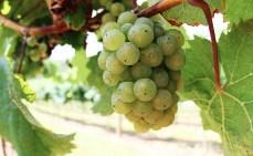 Vineyards - Murphy, NC - #21