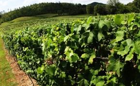 Vineyards - Murphy, NC - #14