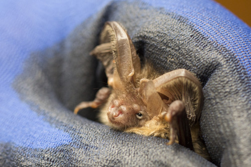 Brown long-eared bat. Photo by Michael Walker
