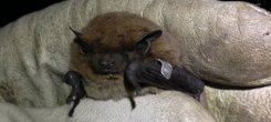 Nathusius' Project update