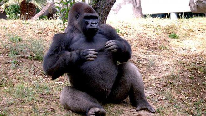 sacrifican a gorila