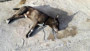 perro_muertos_santa_ana_pacueco_penjamo (3)