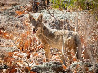 coyote irapuato (2)