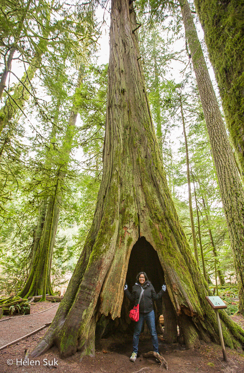 giant tree, cathedral grove, road trip canada, bc road trip
