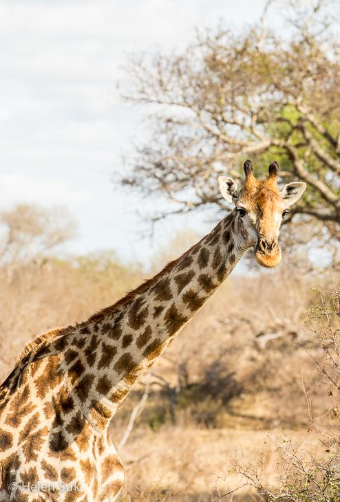 giraffe close-up in south africa