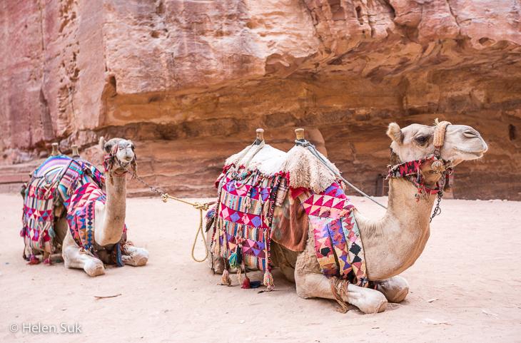 camels petra