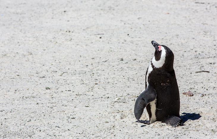 little african penguin sunbathing on boulders beach south africa