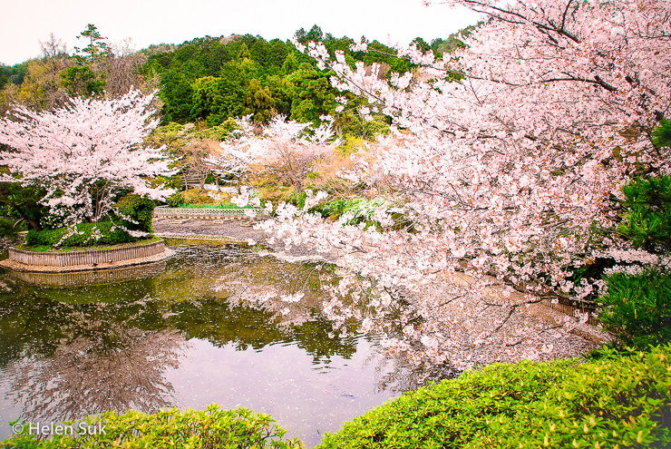 japanese cherry blossoms at ryoanji temple in kyoto