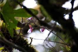Delicate pink orchids call from high above the trail.