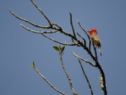 A Vermillion Flycatcher in full sunlight.