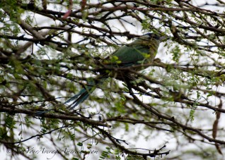 The Blue-crowned Motmot hiding in the brush.
