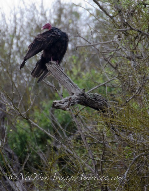 The forest survives with a wide variety of wildlife, including the scavengers like this Turkey Vulture.