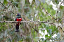 A Masked Trogon seen from the Lodge grounds.