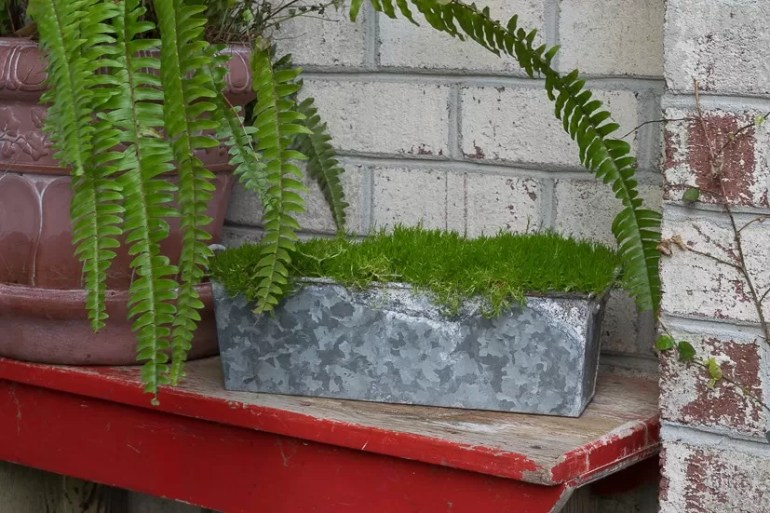 Using Scotch Moss in my home and porch decor