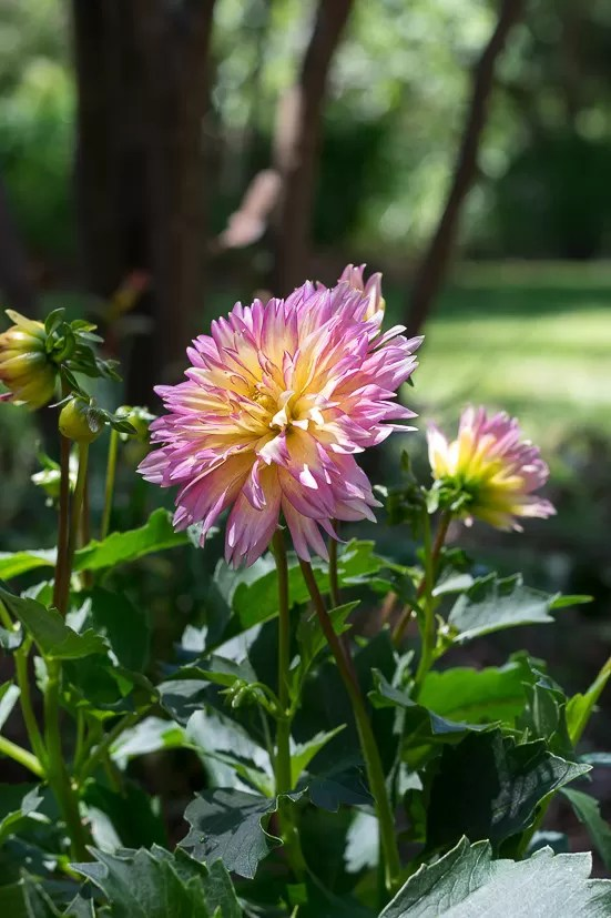 Long-lasting dahlias make a great addition to your cutting garden