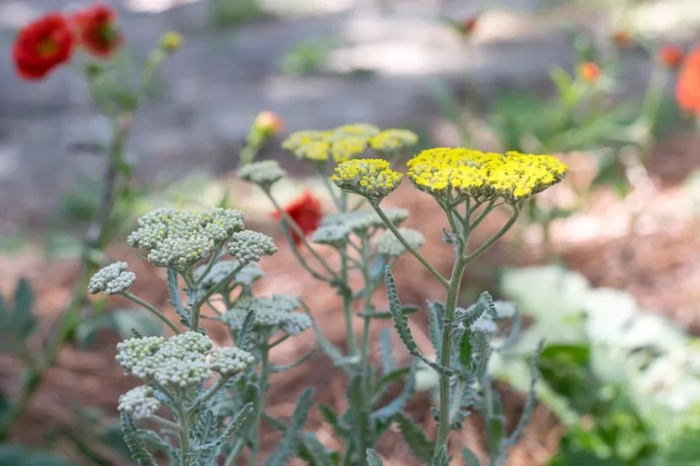 Both the flower and foliage of Yarrow makes it a great plant for your cutting garden, flower arrangements and bouquets.