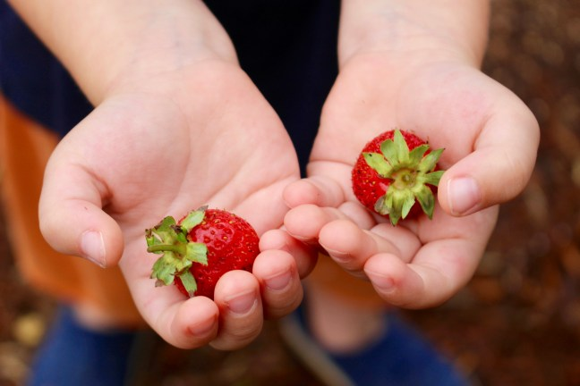 Superfoods Home Page Strawberry Plant Garden Hands