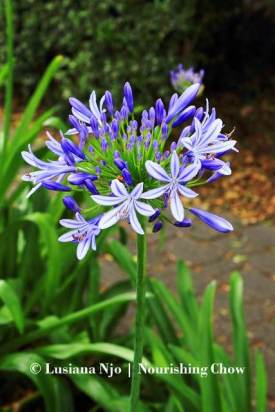 Agapanthus, purple flowers