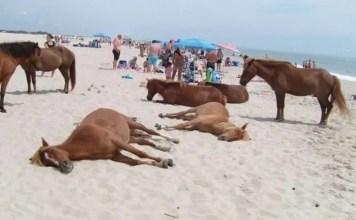 isola di cavalli