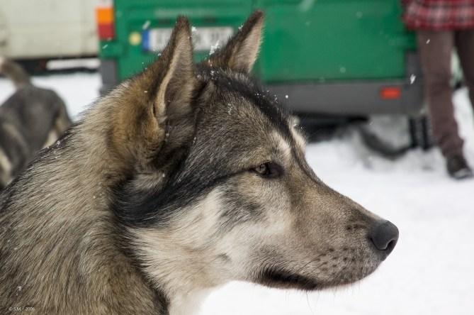 Schlittenhunderennen Februar 2006 (15 von 26)