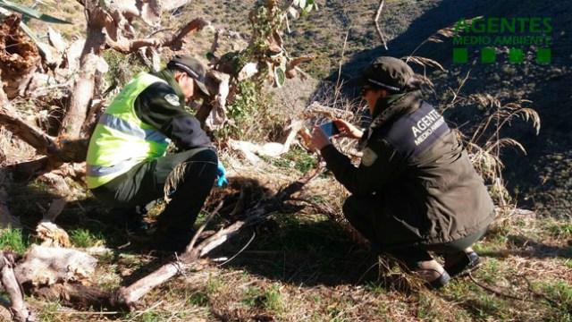 Agentes de Medio Ambiente analizan el lugar donde apareció uno de los jabalíes.