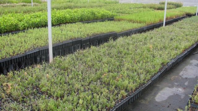 Artales plantados en Rambla Morales.